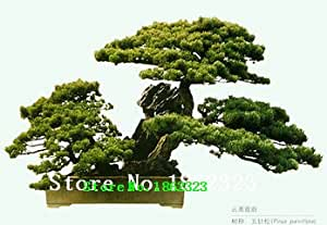 100PC las mini semillas de pino bonsai de boj, repelente de insectos, una buena opción para las familias absorben el formaldehído árbol en maceta