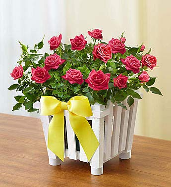 1800Flowers Charming Pink Rose Garden with White Picket Fence Planter (Small)