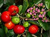 "Barbados Cherry Plant - Malpighia punicfolia - Acerola - Indoors/Out - 6"" pot"