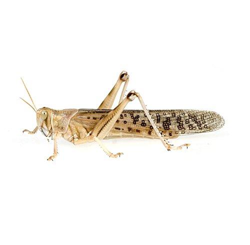 Heuschrecken Groß 9 Stück Dose lebend Fauna Topics