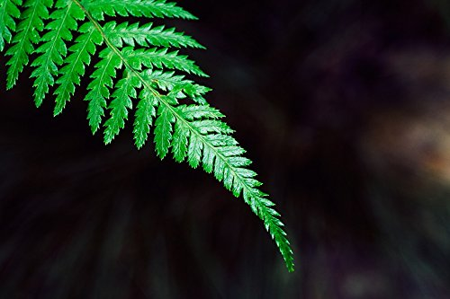 Home Comforts Acrylic Face Mounted Prints Natural Leaf Wood Brake Green Fern Plant Garden Print 20 x 16. Worry Free Wall Installation - Shadow Mount is Included. (Wood Fern Garden)