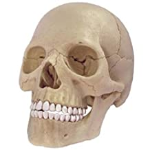 Three-dimensional puzzle 4D VISION human anatomy No.23 1/2 skull anatomical model (japan import)