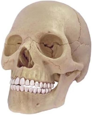Juguete de anatomía cráneo