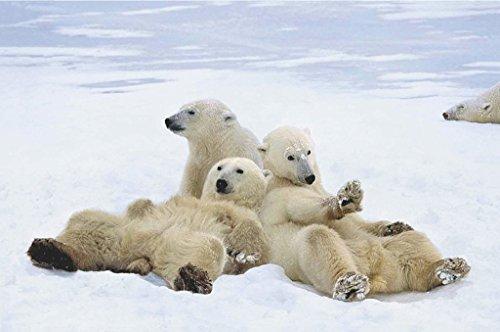 Polar Bear Playtime 24