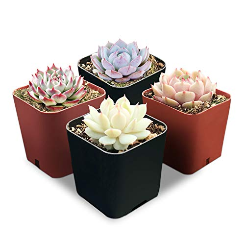 "Rosette Succulents, 4 Assorted Rooted Mini Succulents in 2"" Planter Pots with Soil, Real Live Succulents Bonsai for Indoor Home Office Cactus Decor, Terrariums, Wedding Favor"