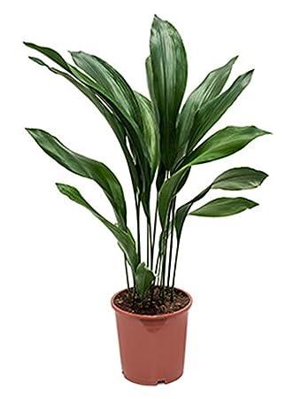 Grünpflanze Wenig Licht schusterpalme 60 80 cm im 21 cm topf robuste zimmerpflanze wenig