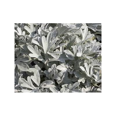 (1 Gallon) Artemisia Schmidtiana 'Silver Mound' Satiny Wormwood (Groundcover) Scented, Silver-Grey Foliage with Inconspicuous Yellow Blooms : Garden & Outdoor