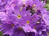 100 Pcs Blue Evening Primrose Flowers Colorful Mixed Seeds Bonsai Plant Garden Balcony Ornamental Home Primula Malacoides Flower Blue