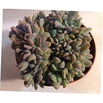 TEE 1 Bare Root Medium Succulent Plant. Medium Crested Echeveria Cubic Frost - RK69 : Garden & Outdoor