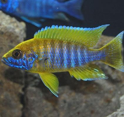 Nationwide Fish Live Fish - 6 Benga Sunshine Peacock Aulonocara African Cichlid 1.25