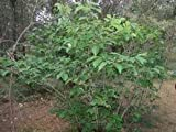 "(3 Gallon) ""American Hazelnut (Filbert) Tree"" Small Productive, Rounded Tree/Shrub With Clusters of Small Round 1/2"" Nuts"