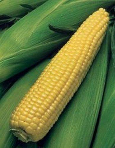 Kandy Korn Corn Hybrid F1 Seeds [25 - Seeds] -