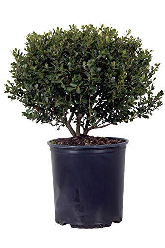 Japanese Holly, Ilex Compacta (Ornamental, Bush, Green Foliage), 2.5 Quart