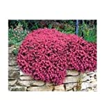 80 graines d'AUBRIETE ROUGE CARMIN (Aubrieta deltoidea ROYAL RED) X213 SEEDS