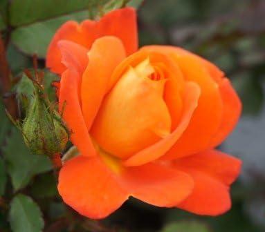 Bare Root Apuldram Roses IRISH EYES Floribunda Bush rose