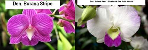 Organic Seeds: BIN CA07 Den. ana Stripe x ana Pearl 'Lakeview' 31/4'' Pot S978 by FERRY