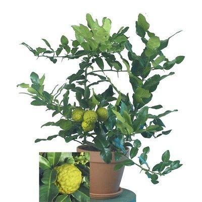 1 Fresh Cutting for Rooting Kaffir Lime, Citrus Hystrix, Makrut Lime Starter Plant Seedling or Cutting NHKM14 : Garden & Outdoor