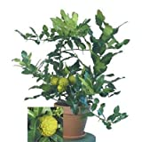 1 Fresh Cutting for Rooting Kaffir Lime, Citrus