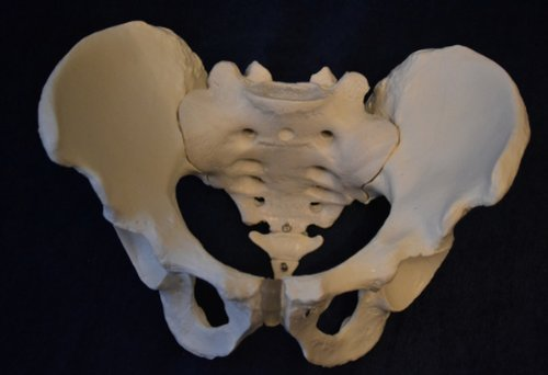 Wellden Product Medical Anatomical Male Pelvic Skeleton, Life Size (Bone Pelvis The)