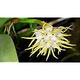 Bulbophyllum Odoratissimum Adulto