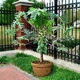 Soil Me Papaya Selection Seeds (50 Seeds)
