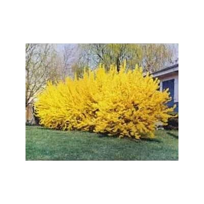 Lynwood Gold Forsythia - Live Plants Shipped 1 to 2 Feet Tall by DAS Farms (No California): Toys & Games