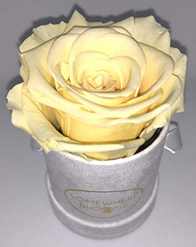 Somewhere Blooms Eternity Rose, Suede Gift Box, Preserved Fresh Flower, Long Lasting, Perfect Luxury Gift for Mother's Day, Birthday, Anniversary (Champagne, White Box) ()
