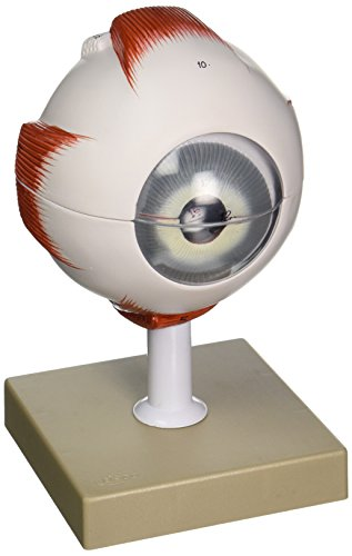 Eisco AM34AS Model, Human, Eye, 5x, 6 part, Dissectable
