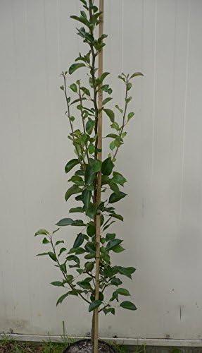 Birnenbaum Decora S/äulenbirne Herbstbirne aromatisch 150-175 cm im 10 Liter Topf Unterlage Quitte A