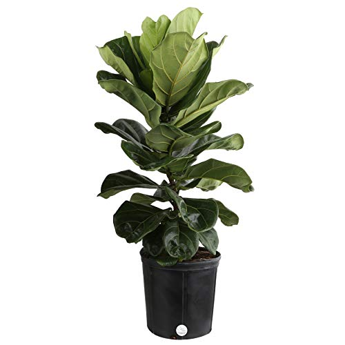 Costa Farms Live Ficus Lyrata, Fiddle-Leaf Fig, Indoor Tree, 3-Feet Tall, Ships in Grower Pot, Fresh From Our Farm (Best Fake Fiddle Leaf Fig)