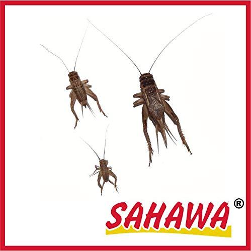 SAHAWA Lebendfutter Heimchen groß 2X 40 Stück in spezieller Winterverpackung + Geschenk gratis, lebende Futtertiere, Reptilienfutter, Heuschrecken, Heimchen, Grillen Sahawa®