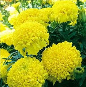 SD1275 Rare Yellow Chrysanthemum-shaped Marigold Seeds, Fresh Flower Seeds, 60-Days Money Back Guarantee (30 Seeds)