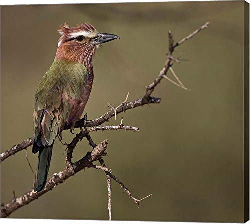 Kenya, Rufous-Crowned Roller Bird on Limb. by Jaynes Gallery/Danita Delimont Canvas Art Wall Picture, Gallery Wrap, 40 x 36 inches ()