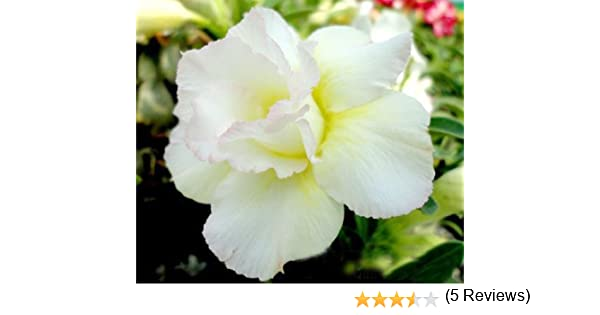 20 Fresh Seeds Adenium Obesum Desert Roses Rare www Triple-King-FightingFishofRed-us
