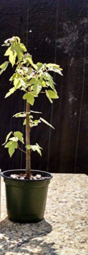 Trident Maple Bonsai Tree Live Starter Plant Garden Outdoor Yard Best (Bonsai Tree Trident Maple)