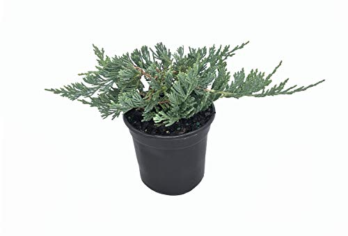 Blue Rug Juniper - 30 Live Plants - 4