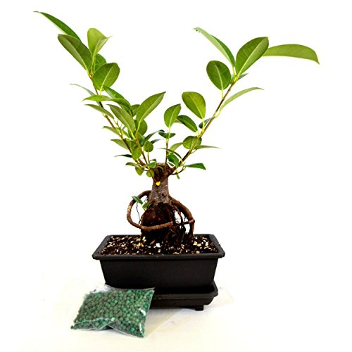 Tree Bonsai Small Ficus Retusa Live Ginseng Ficus Bonsai Water Tray & Fertilizer - Ficus Tree Retusa Bonsai