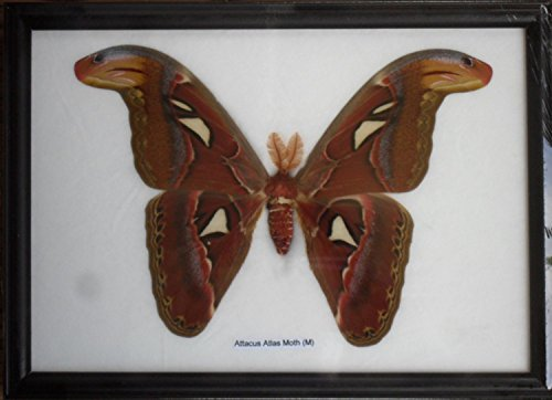Real Attacus Atlas Moths'M' Butterfly Insect Gift Taxidermy in (Attacus Atlas)