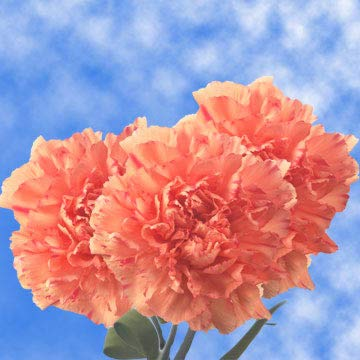 GlobalRose 200 Fresh Cut Orange Carnations - Fresh Flowers Wholesale Express Delivery by GlobalRose (Image #4)