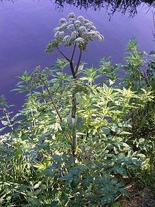 FES Quintessentials Flower Essences Services Angelica 30ml Dosage by (Angelica Flower Essence)