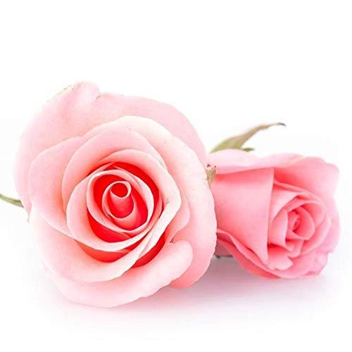 Opla3ofx 100Pcs Fresh Rare Rose Flower Seeds,Open-Pollinated, Wild Flower Seeds Planting, Bees, Humming Birds, Butterflies, Pollinators,Office Garden Decor Pink Rose Seeds