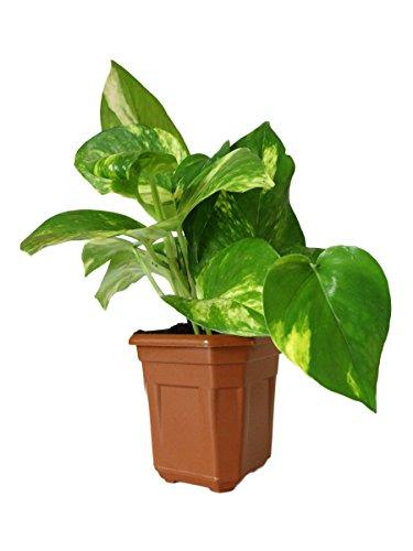 Rolling Nature Good Luck Money Plant In Brown Hexa Pot