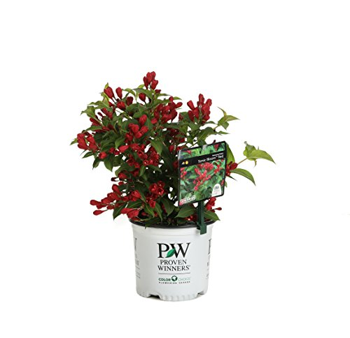 1 Gal. Sonic Bloom Red Reblooming Weigela (Florida) Live Shrub, Red Flowers by Proven Winners (Image #9)
