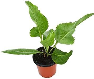 Rompepiedras Lepidium Latifolium 10cm Planta en Maceta: Amazon.es ...