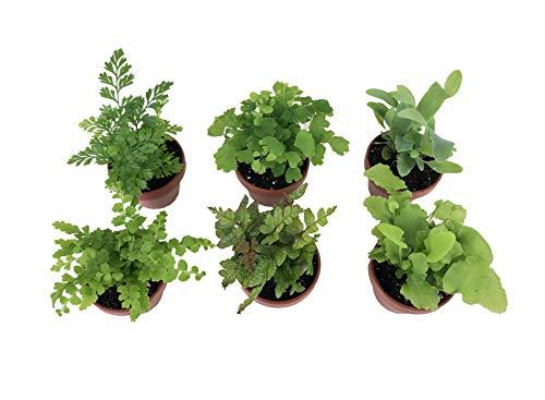 """Micro Ferns (6 Plants) (1.5"""" Pots) Terrarium Plants Fairy Garden Plants"""