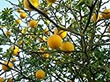 Poncirus trifoliata HARDY TRIFOLIATE ORANGE Tree SEEDS!