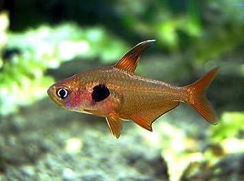 Amazon   (熱帯魚・カラシン) レッドファントムテトラ 1.5cm± (10匹 ...