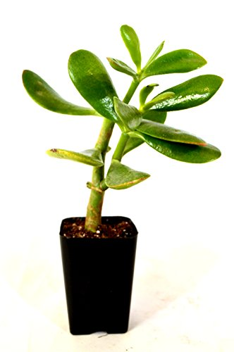 "9GreenBox - Jade Plant - 2"" Pot"