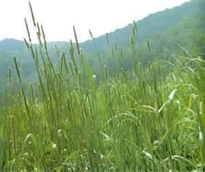 Timothy Grass Seed (KY Early, Certified Seed) - 10 Pound ...