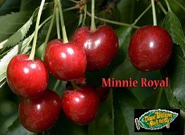 MINNIE ROYAL CHERRY TREE - 2 year old 4-5 Feet Tall